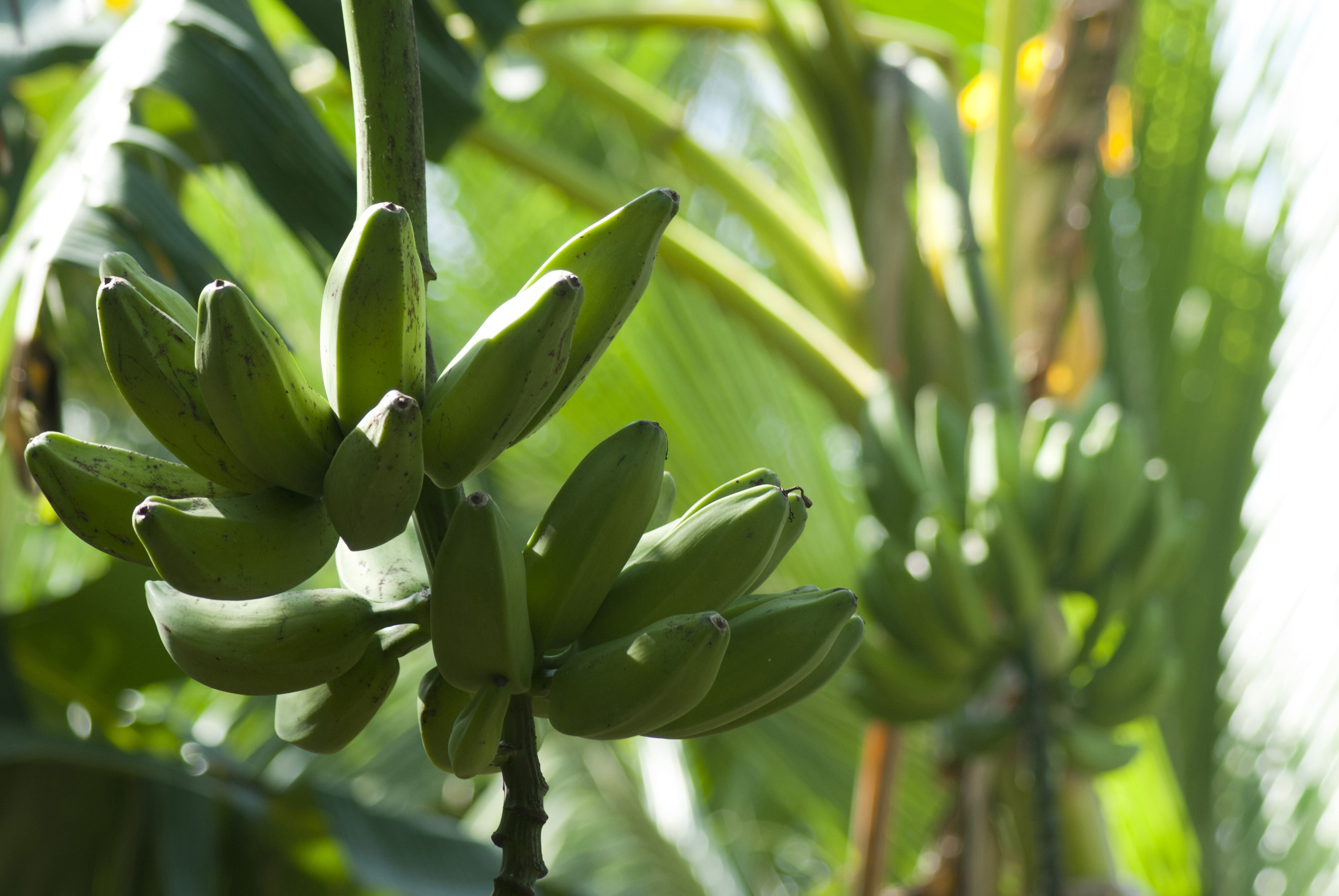 Bunch of bananas or plantains ripening on a plantation hanging in a cluster, the banana plant is the largest herbaceous flowering plant